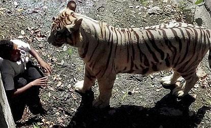M_Id_482616_tiger_at_delhi_zoo